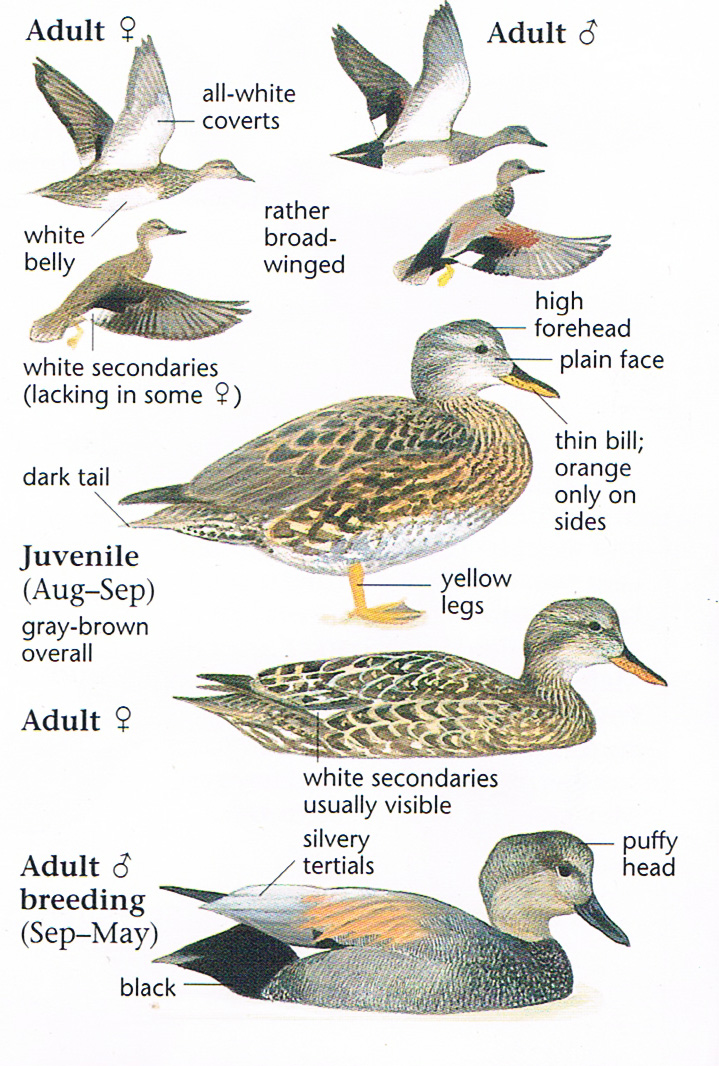 Gadwall Different Ages Anas Strepera