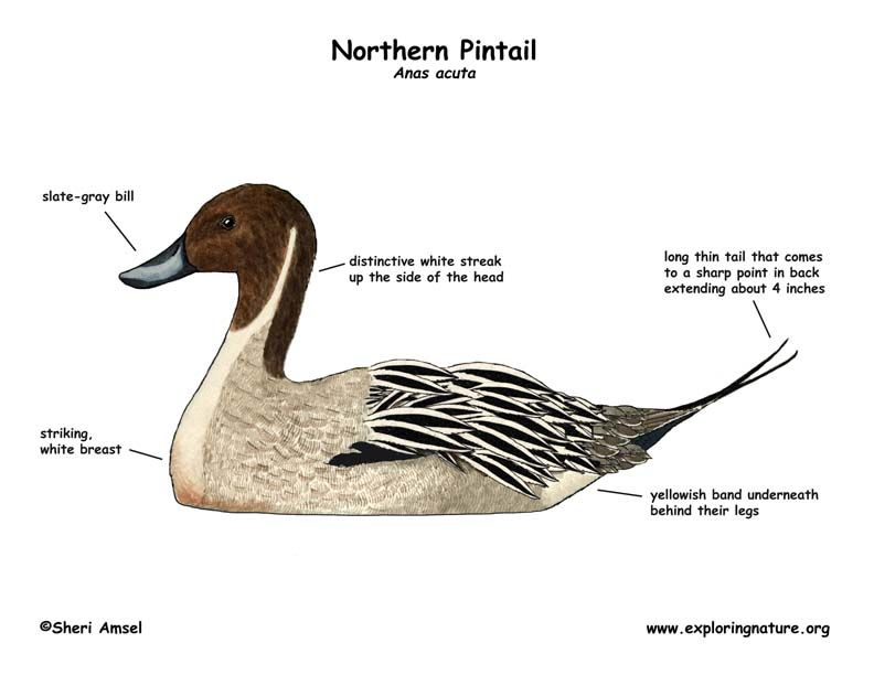 Northern Pintail External View Anas Acuta