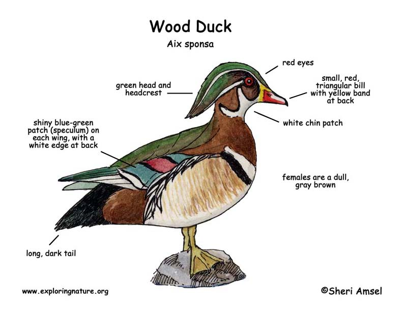 Wood Duck External Anatomy Aix Sponsa