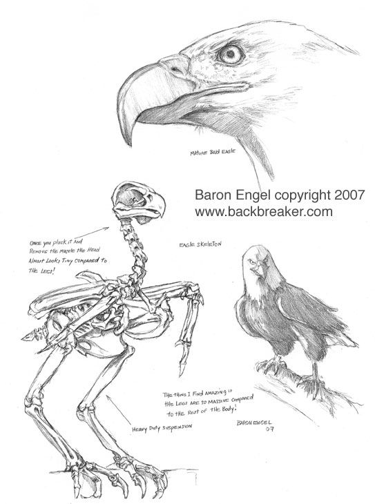 Bald Eagle Diagram