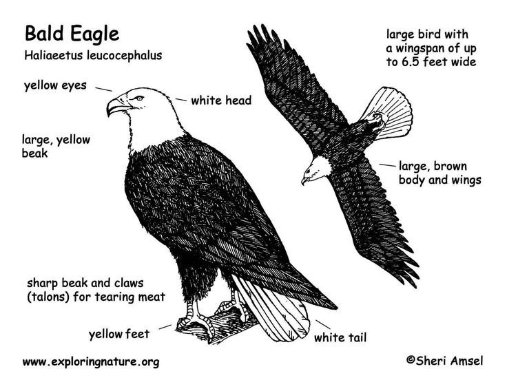 Bald Eagle Haliaeetus Leucocephalus Diagram