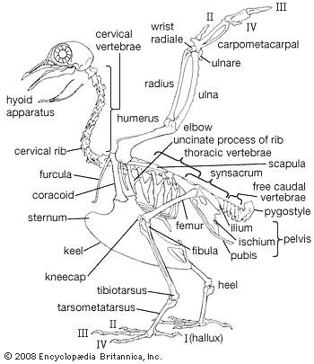 Bald Eagle Skeleton Anatomy Lateral View