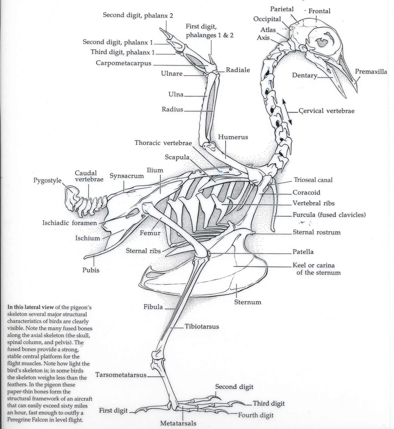 Eagle Avian Skeleton Diagram
