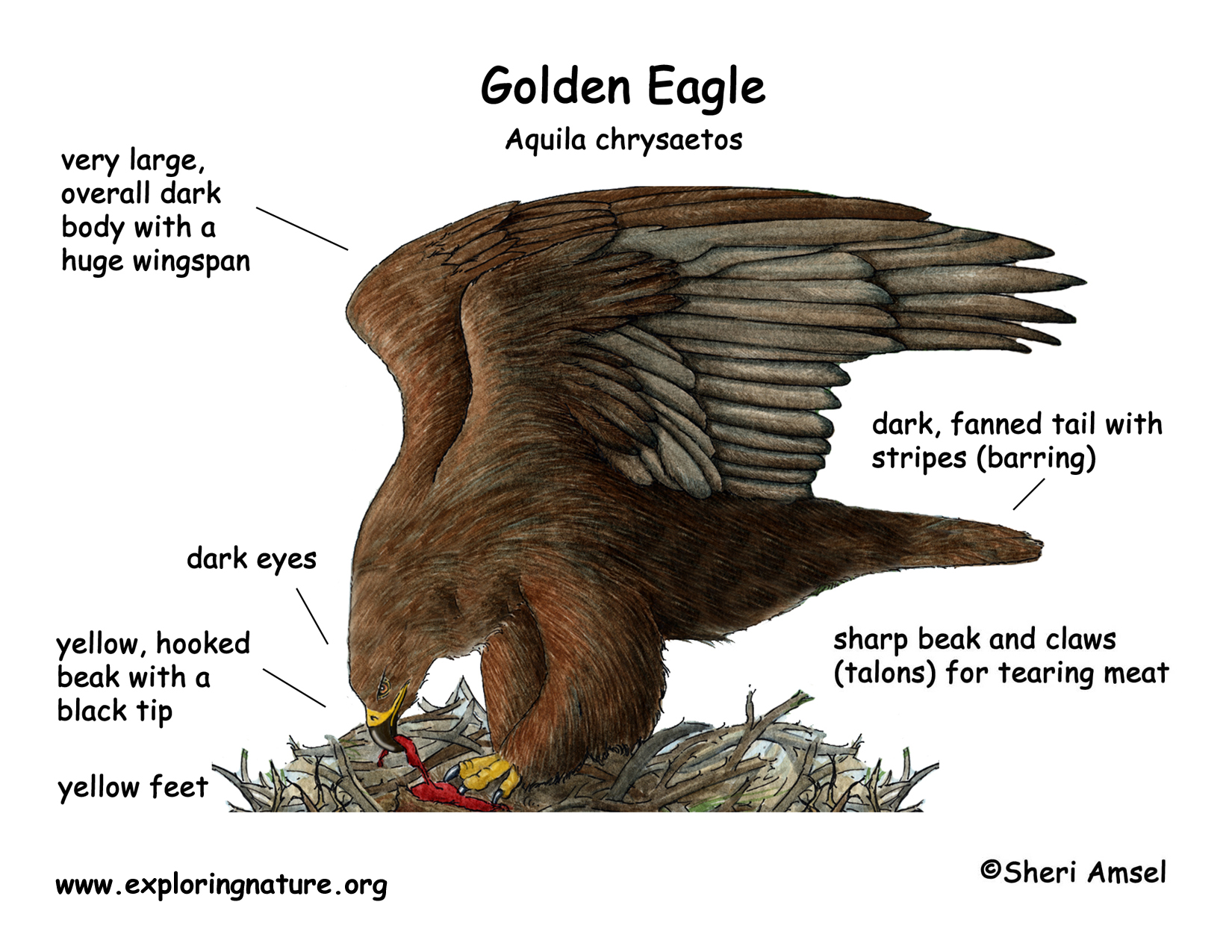 Golden Eagle Anatomy External View Aquila Chrysaetos