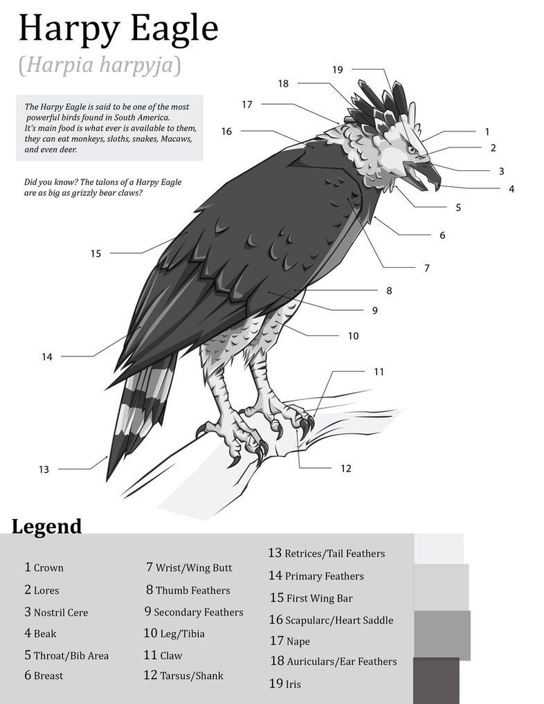 Harpy Eagle Haria Harpyja External Anatomical Structure