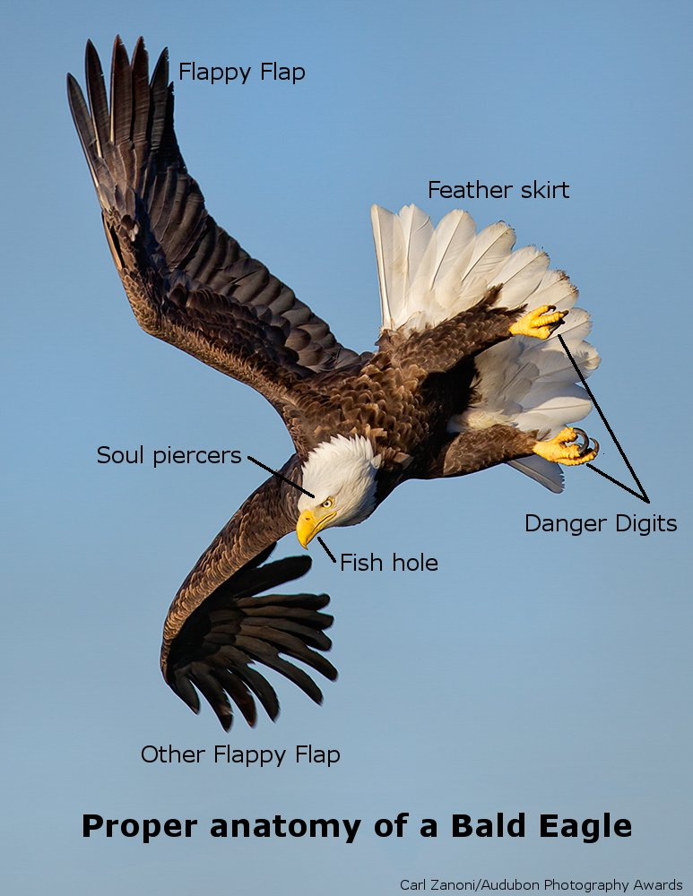 Proper Anatomy Of A Bald Eagle Diagram