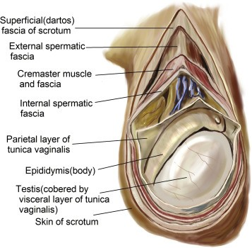 Layer Of Testis Scrotum Anatomy
