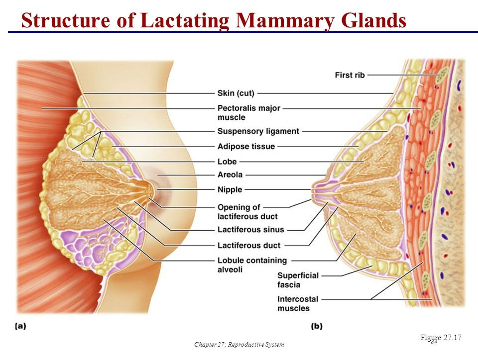 Structure Of Lactating Mammary Glands Diagram
