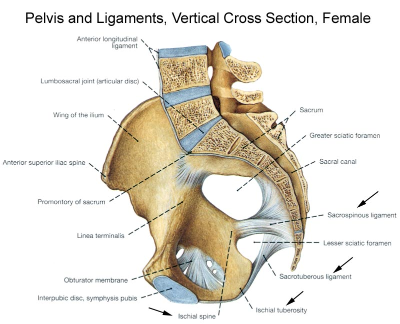 Pelvis And Ligament Vertical Cross Section Female Diagram