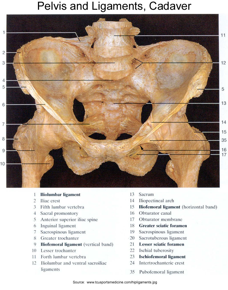 Pelvis And Ligaments Cadaver Diagram