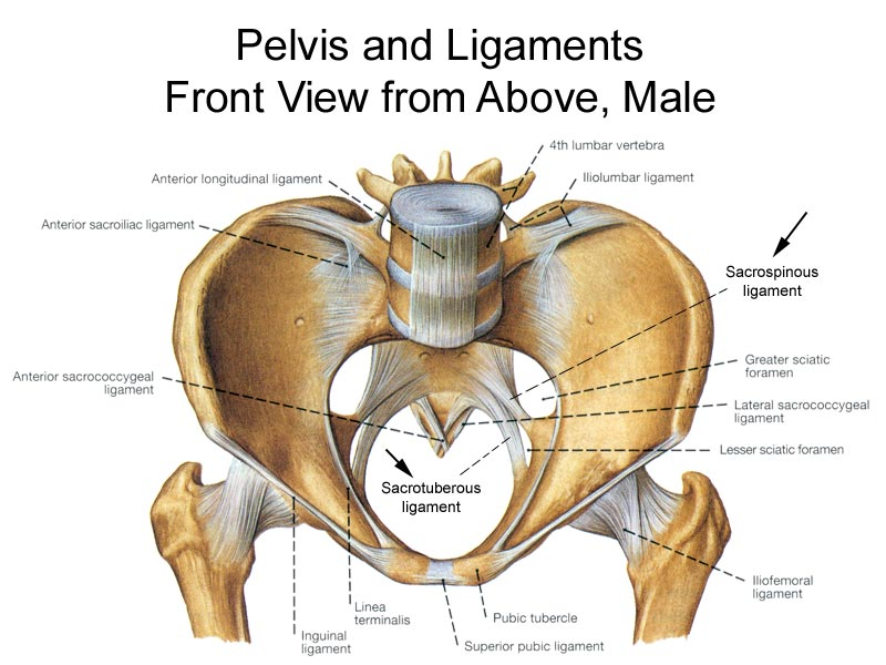 Pelvis And Ligaments Front View From Above Male