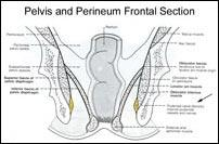 Pelvis And Perineum Frontal Section Diagram