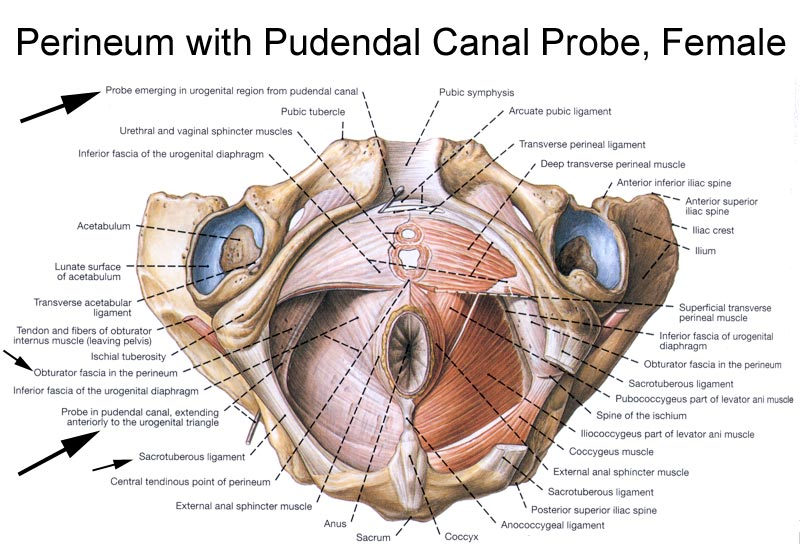 Perineum With Pudendal Canal Probe Female Diagram