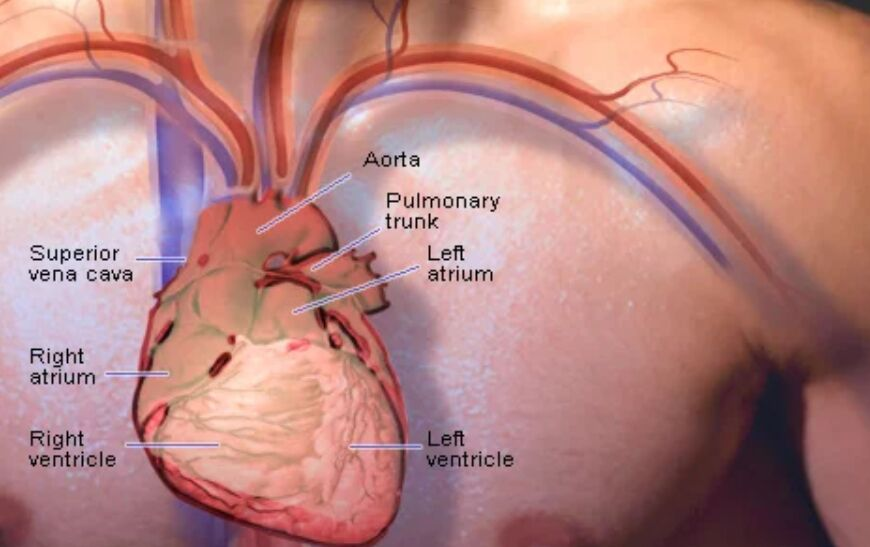 Picture Of The Heart Position On Human Body
