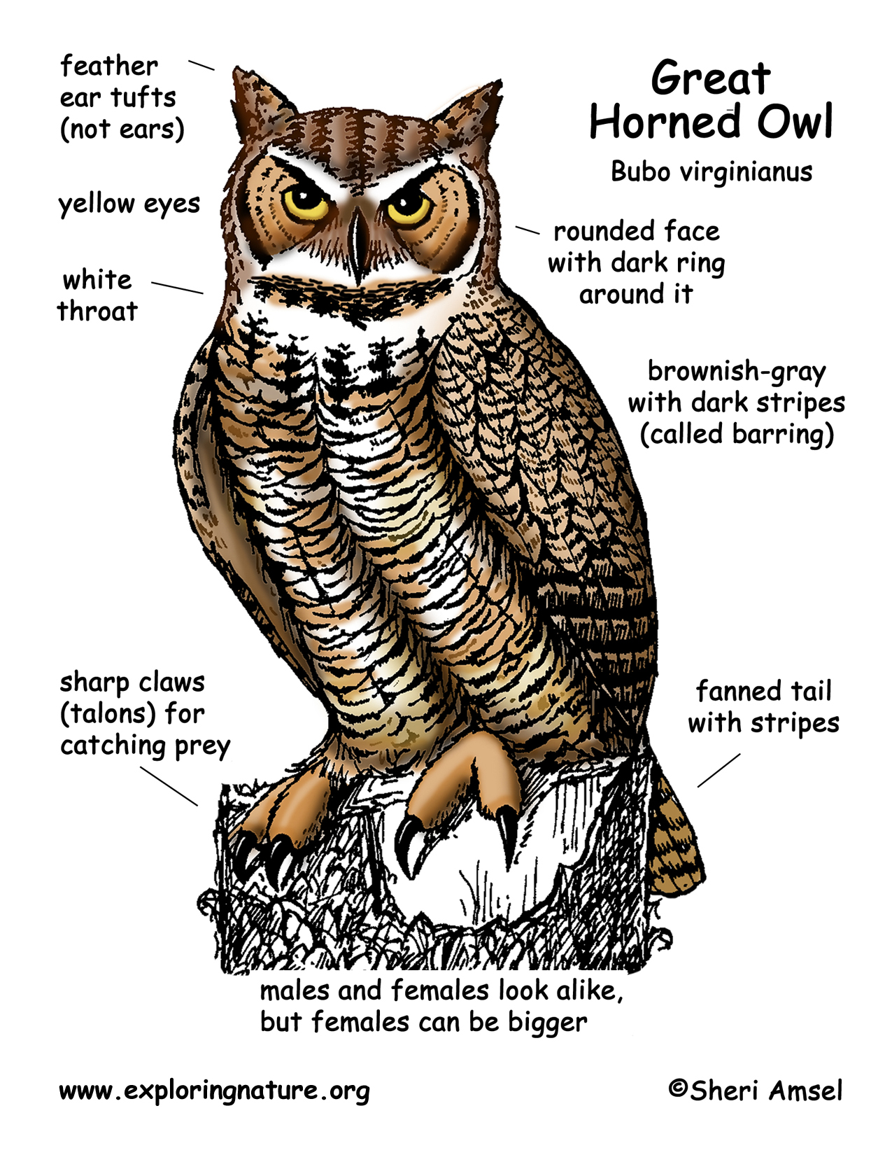 Great Horned Owl Anatomy