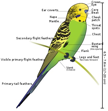 Budgerigar Anatomy External View