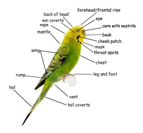 Budgies Anatomy
