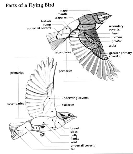 Parts Of A Flying Birds