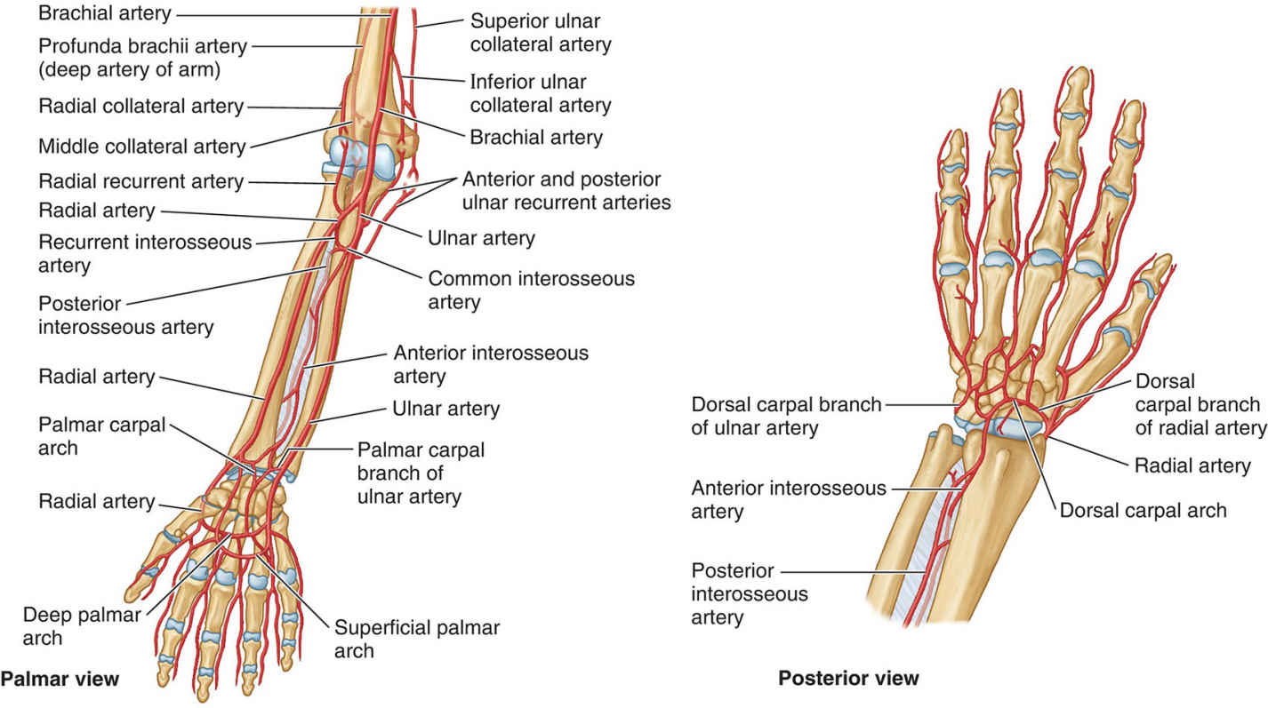 Arteries Of Forearm Posterior View And Palmar View Diagram