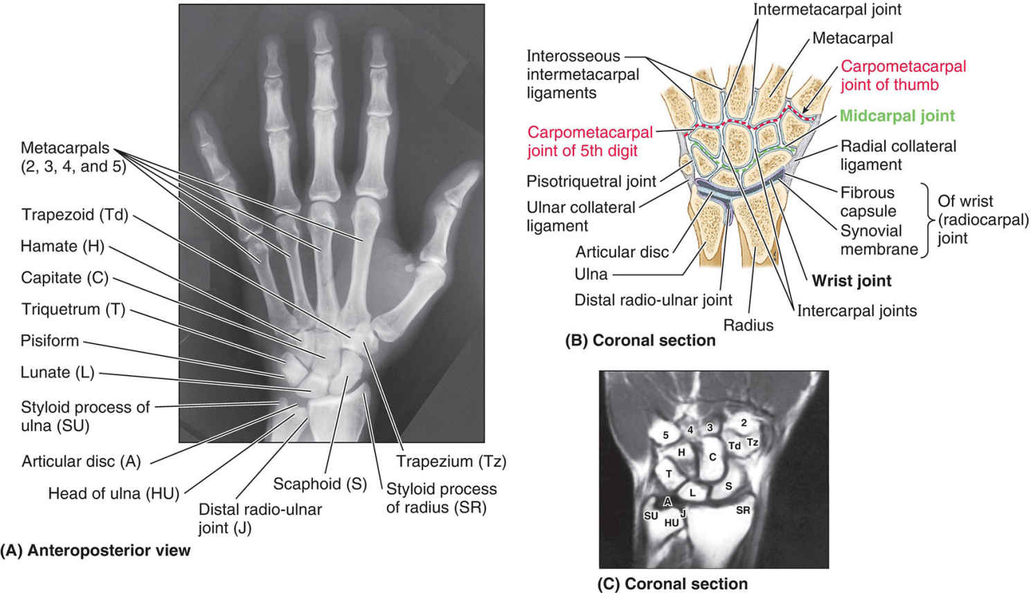 Bones And Joints Of Wrist And Hand