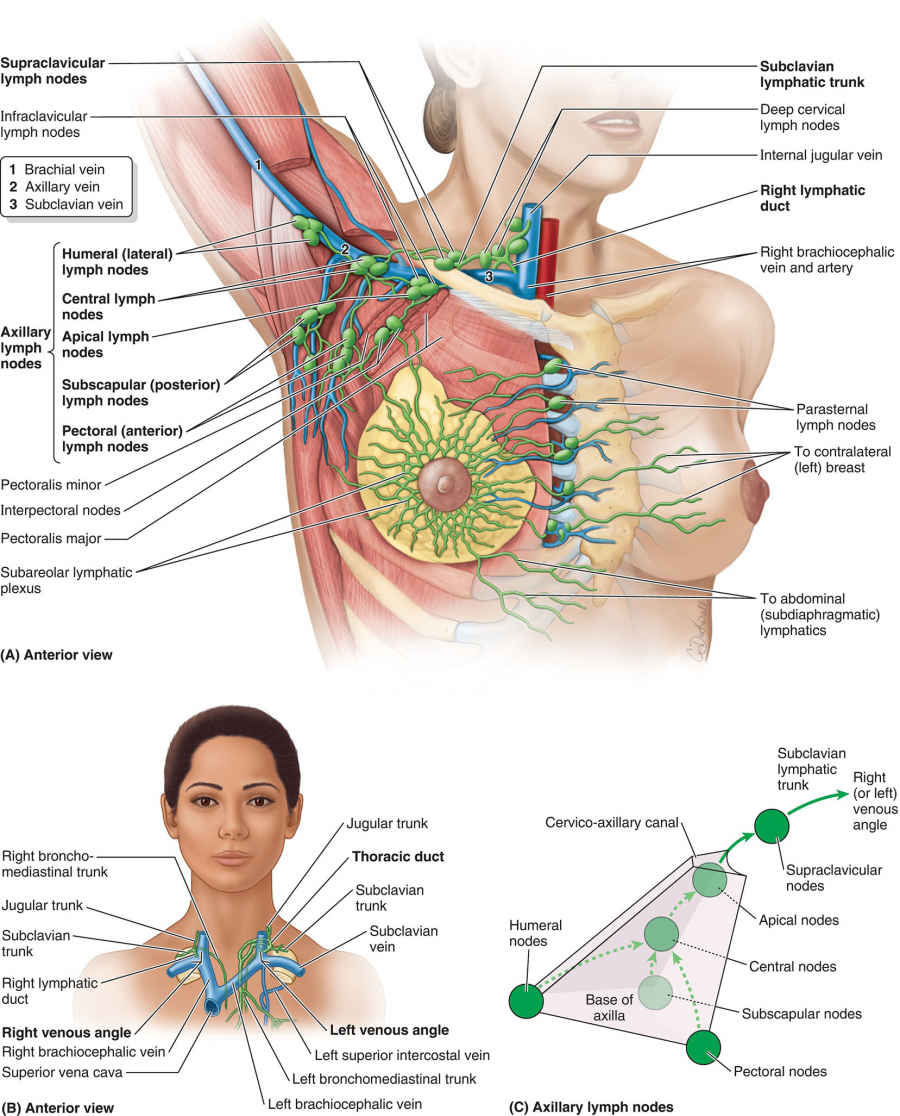 Axillary Lymph Nodes And Lymphatic Drainage Of Right Upper Limb And Breast Diagram