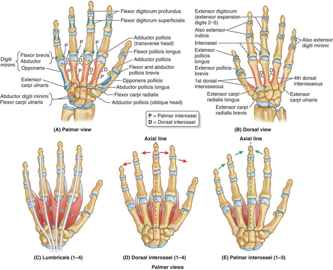 Attachments Of Intrinsic Muscles Of Hand And Actions Of Interossei Diagram
