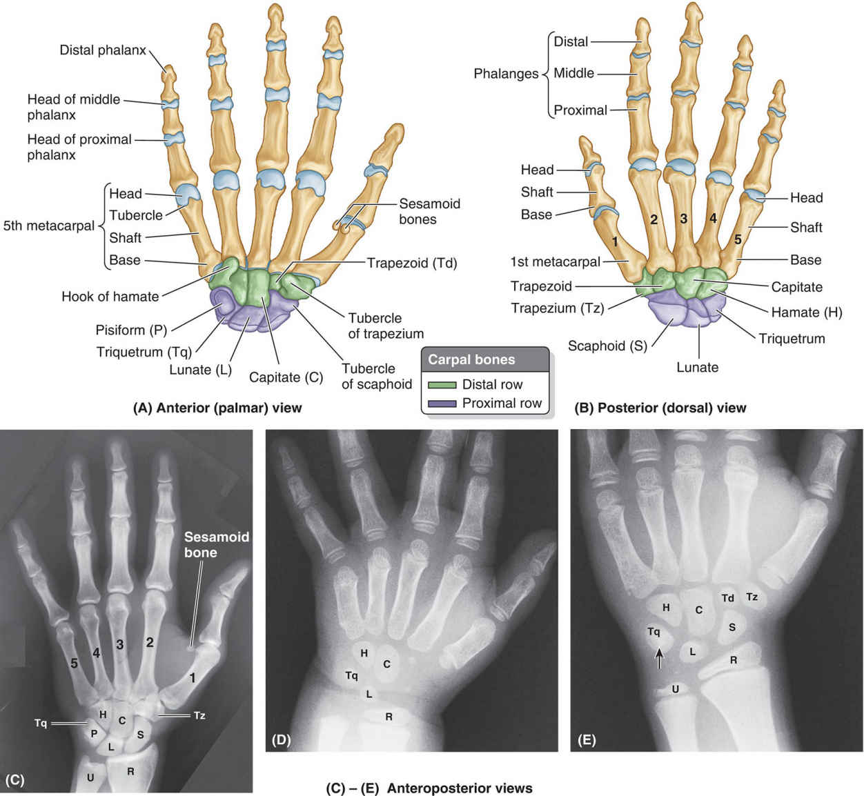 Bones Of Right Hand Anatomy And X-ray View