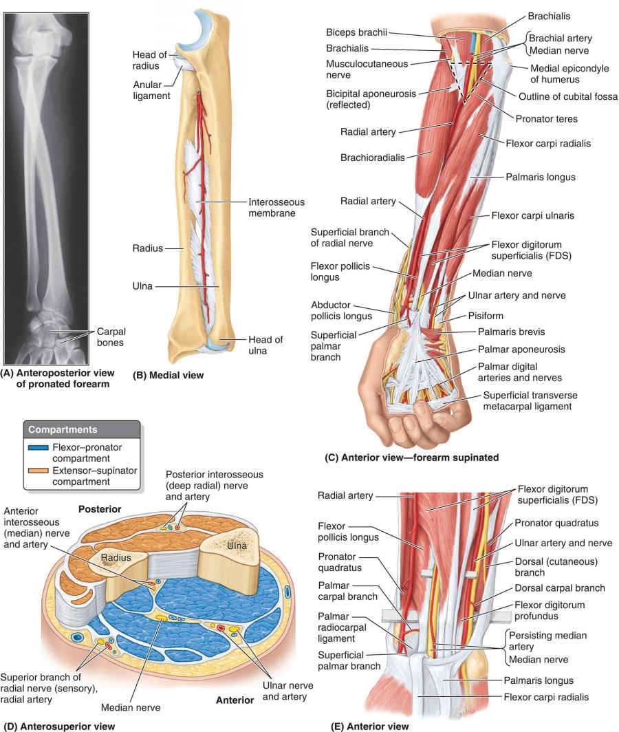 Bones, Muscles, And Flexor–pronator Compartment Of Forearm