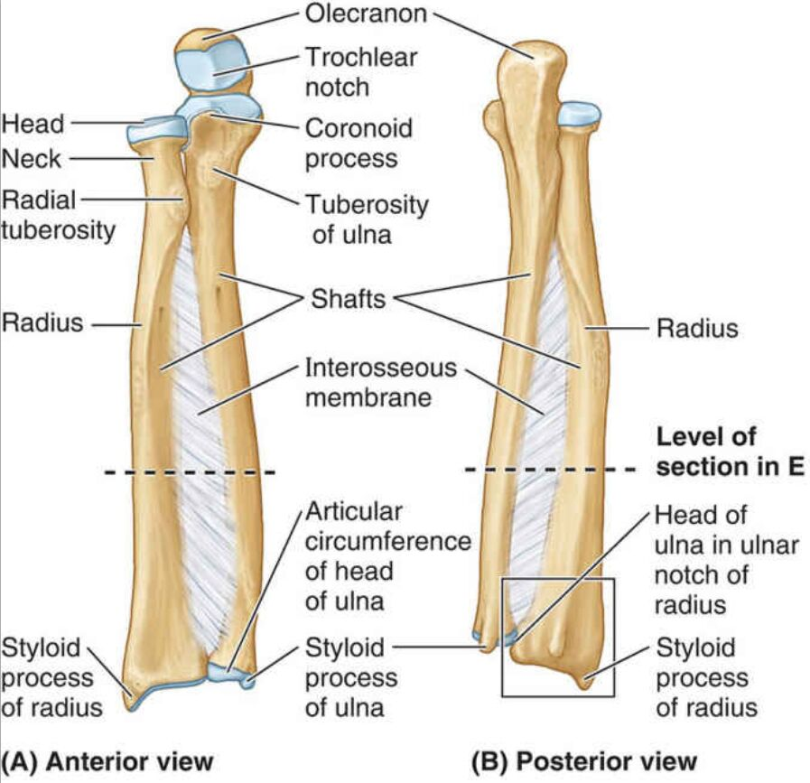 Anterior View And Posterior View Of Radius And Ulna