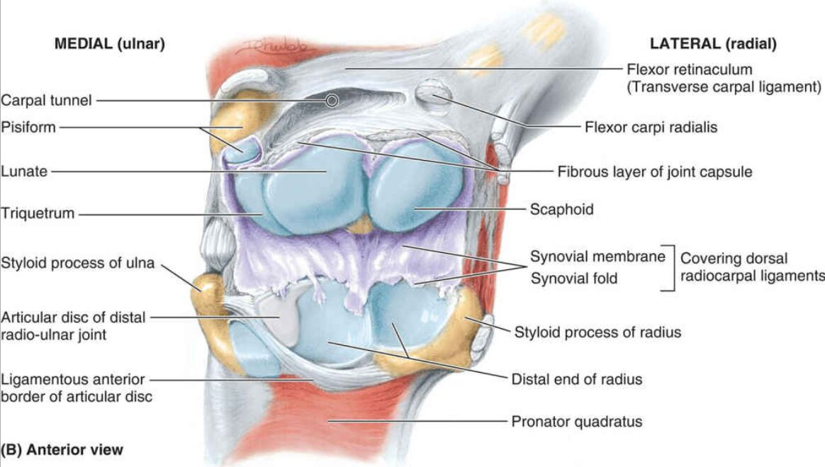 Anterior View Of Elbow Joint Different Aspect