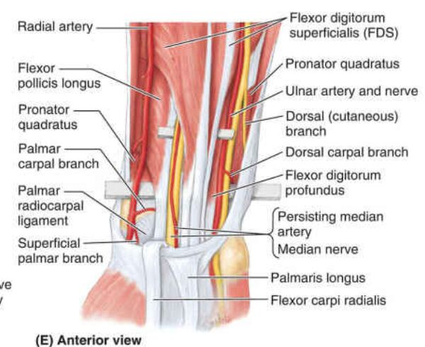 Anterior View Of Forearm Anatomy Diagram
