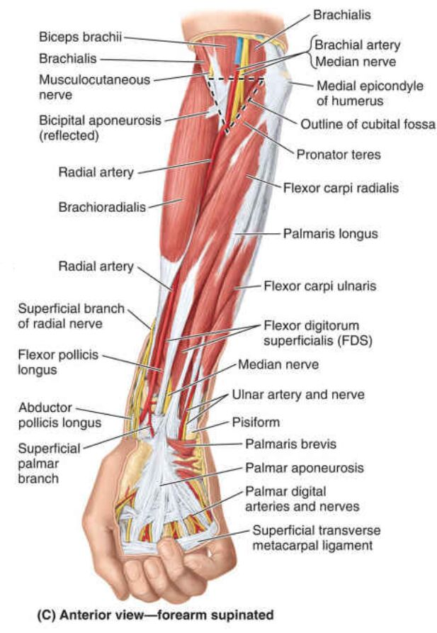 Anterior View Of Forearm Supinated Diagram