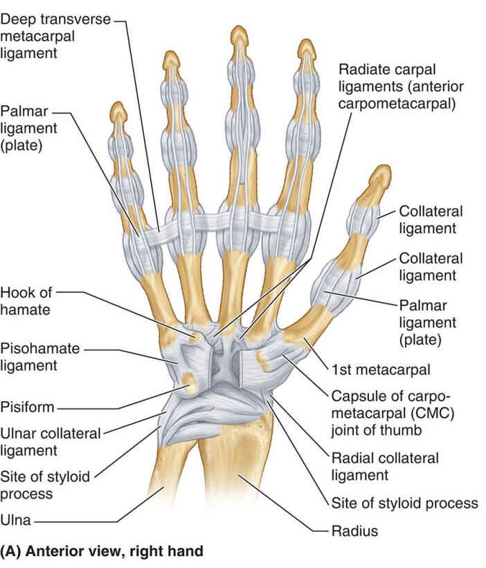 Anterior View Of Right Hand Anatomy In Detail