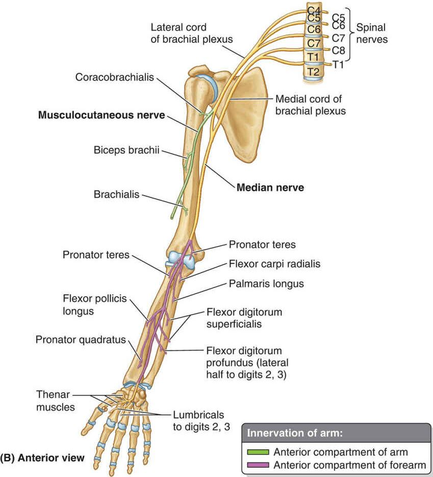 Anterior View Of Upper Extremity Nerve Innervation Anatomy