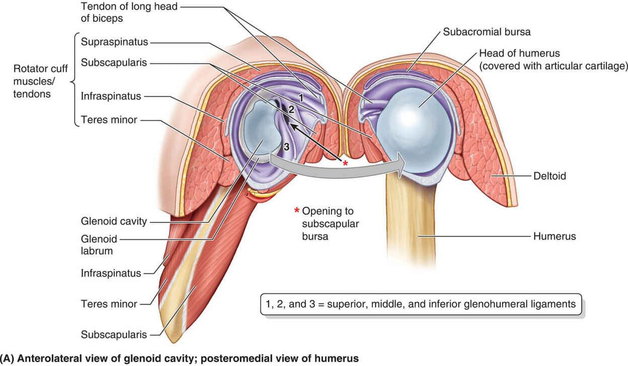 Anterolateral View Of Glenoid Cavity Posteromedial View Of Humerus