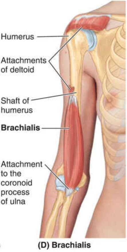 Brachialis Anatomical Location Diagram
