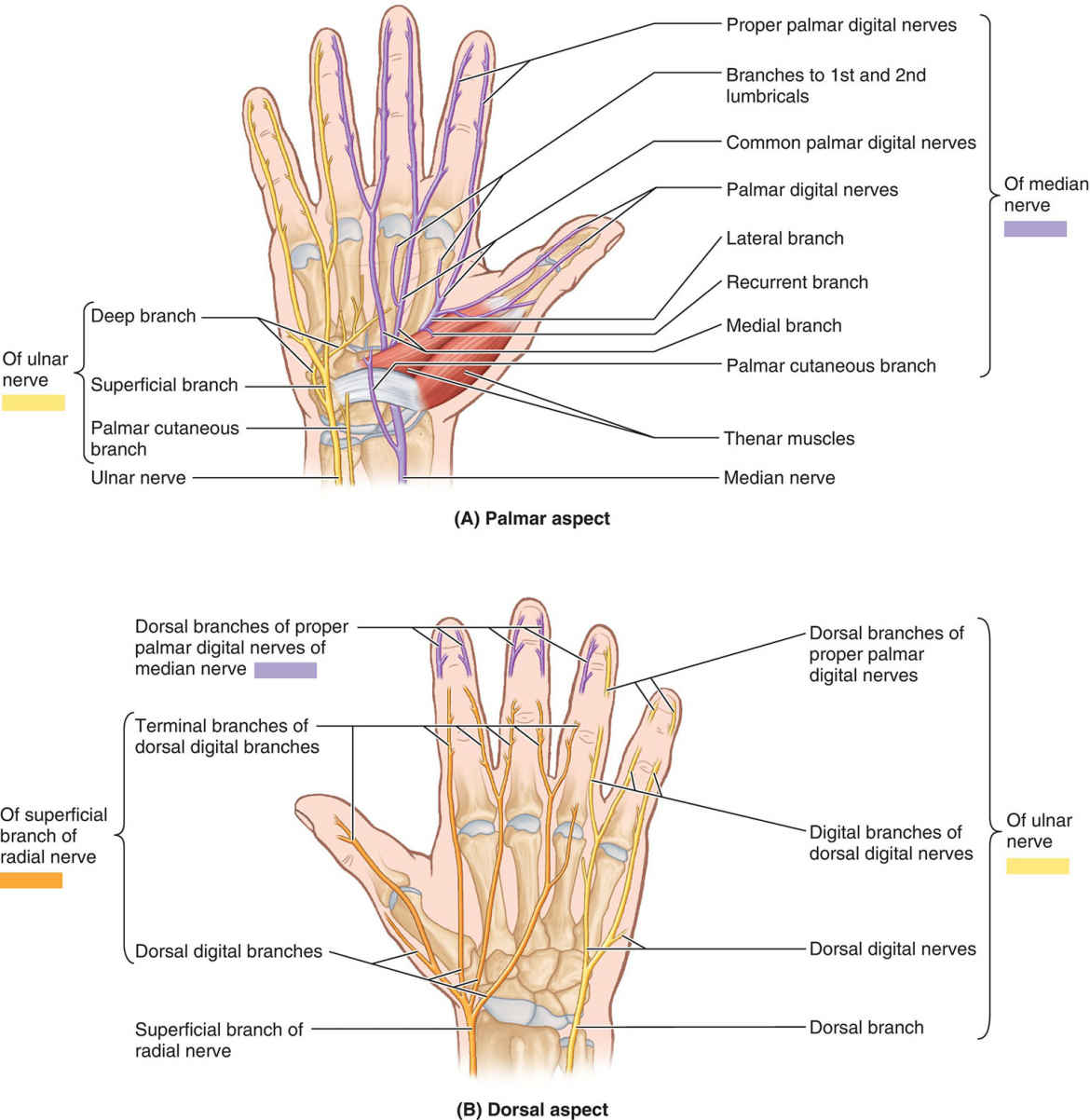 Branches Of Nerves To Hand Diagram