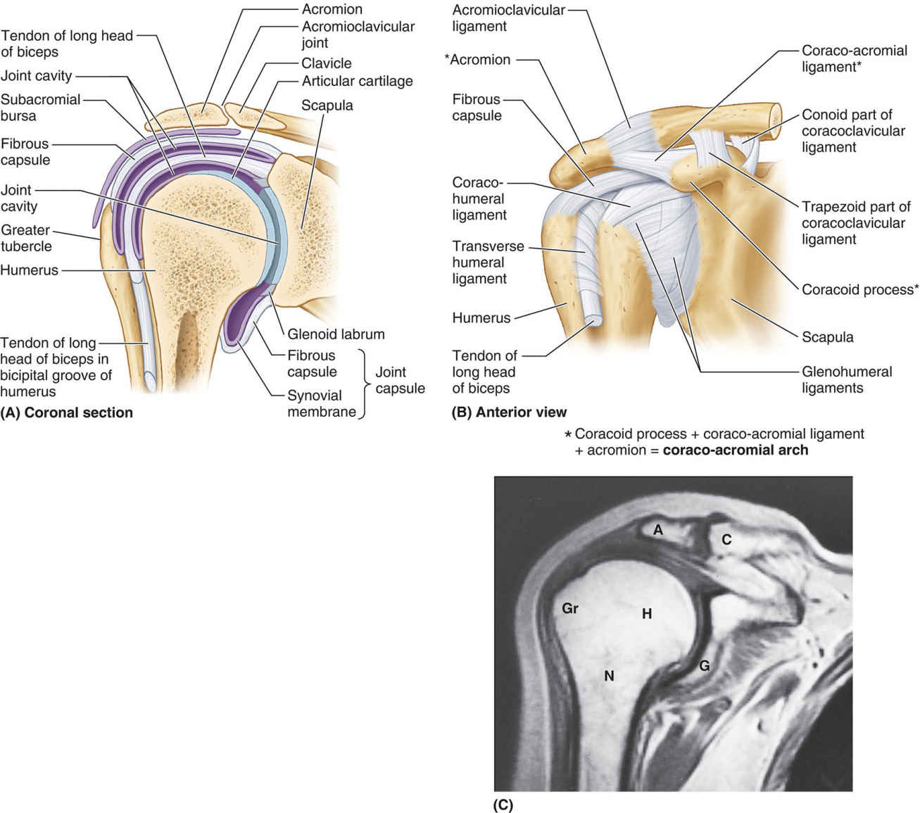 Capsules And Ligaments Of Glenohumeral And Acromioclavicular Joints