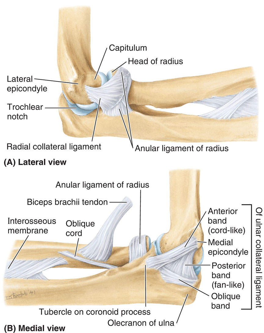 Collateral Ligaments Of Elbow Joint