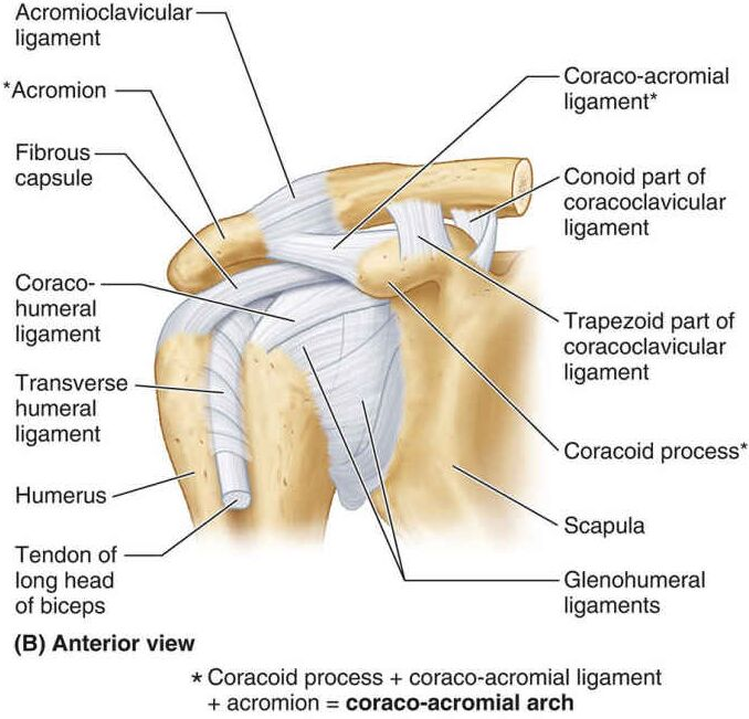Coracoid Process, Coracoacromial Ligament