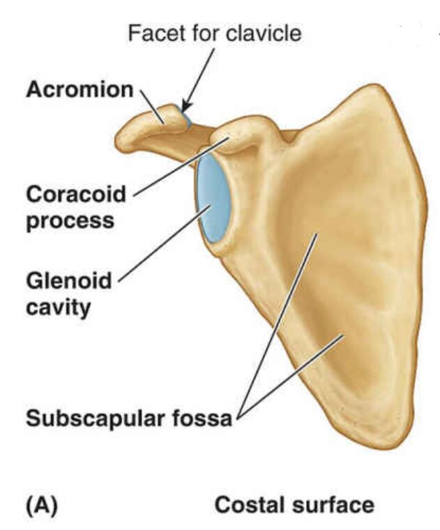 Costal Surface Of Scapula Anatomy