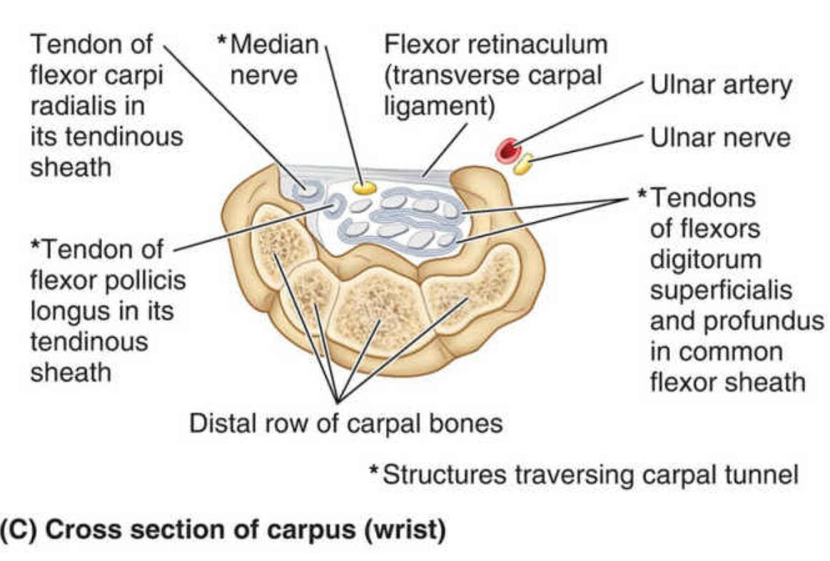 a Cross Section Of the Carpus Wrist