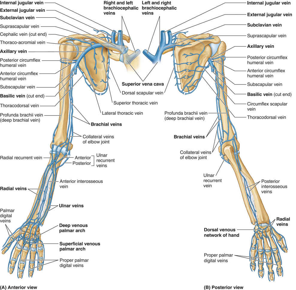 Deep Veins Of Upper Limb Anatomy