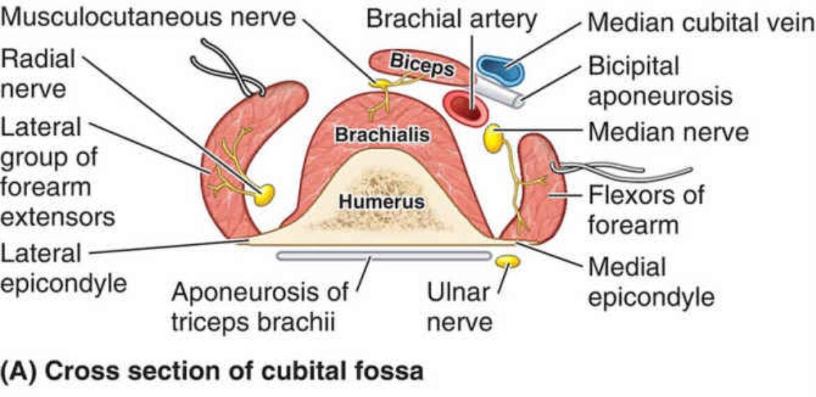 Cross Section Of Cubital Fossa Anatomy In Detail