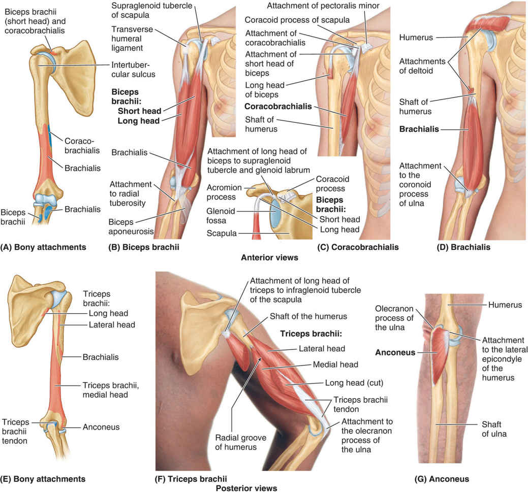 Different Types Of Muscles Of Arm Diagram