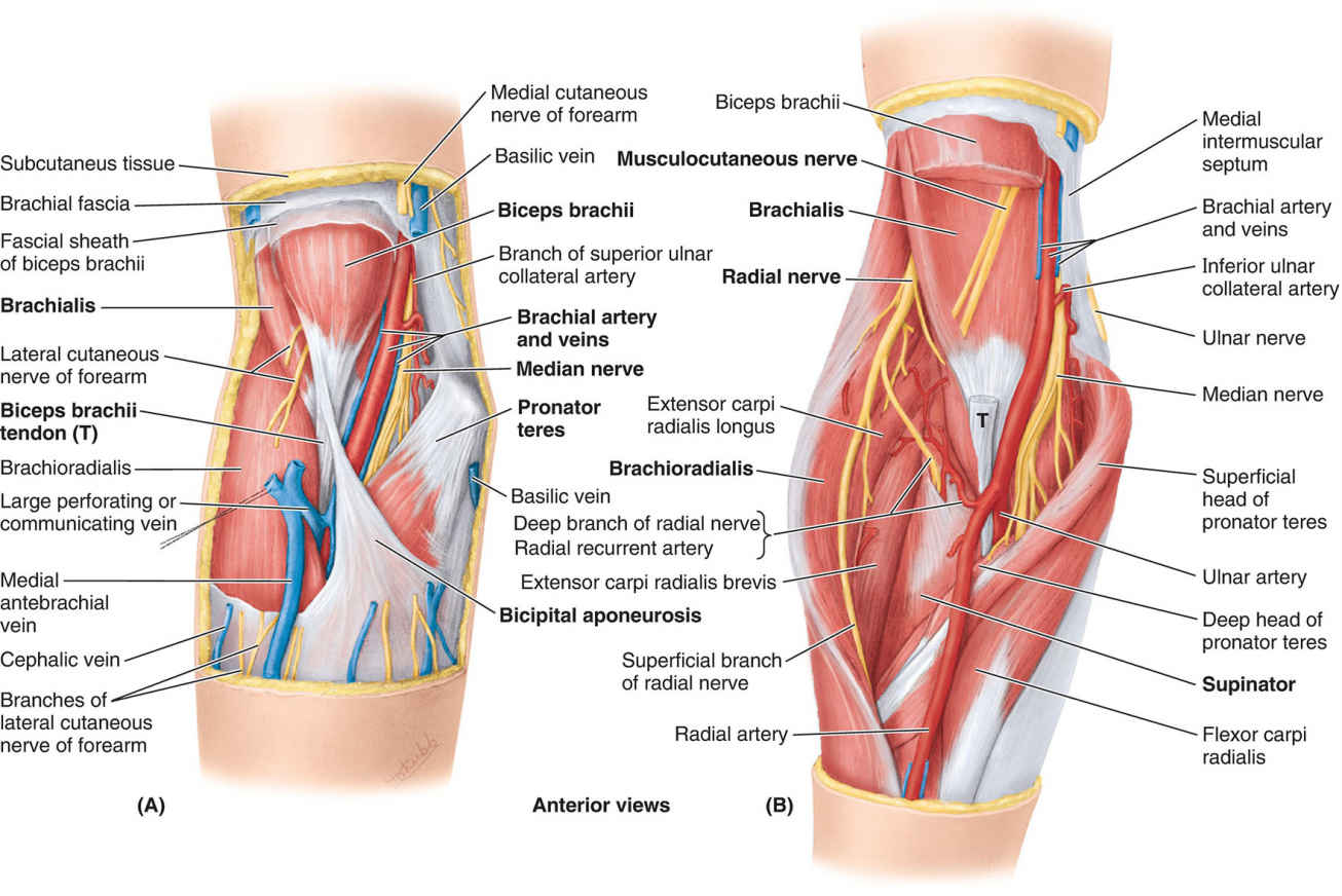 Dissections Of Cubital Fossa Diagram