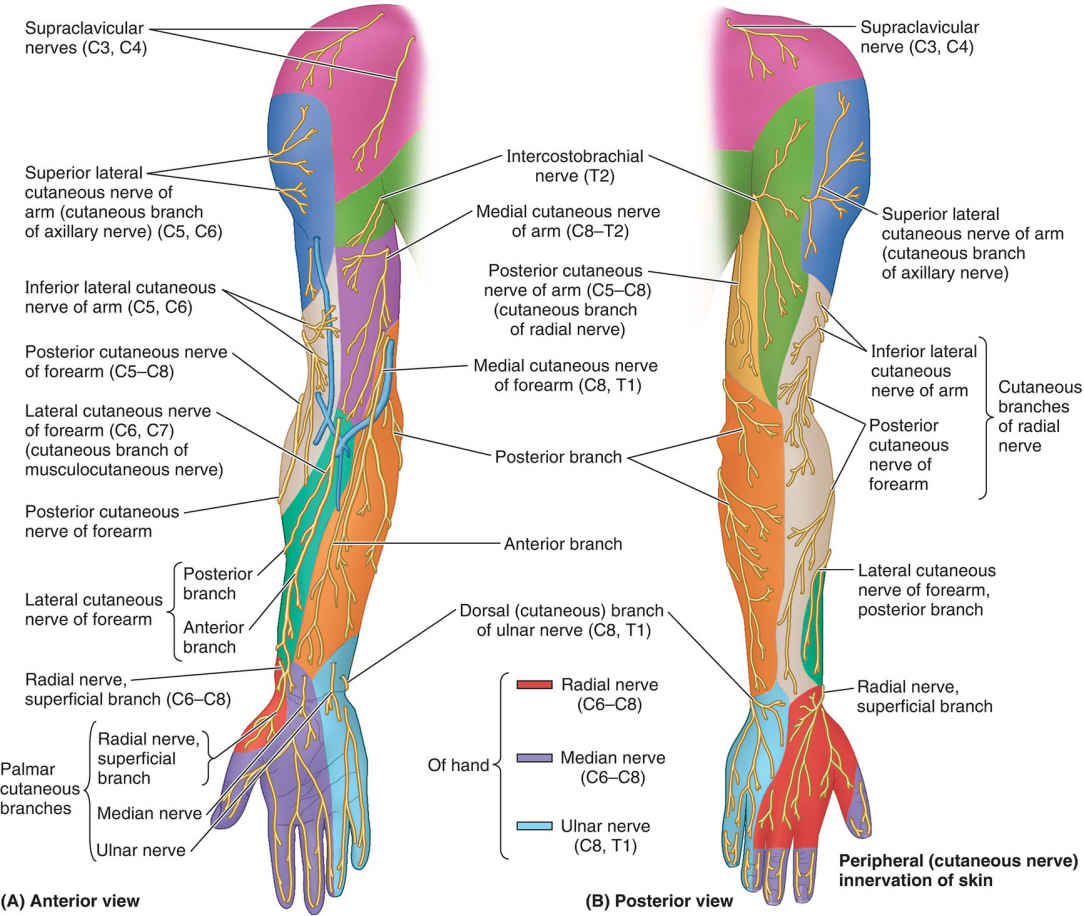 Distribution Of Peripheral Cutaneous Nerves In Upper Limb