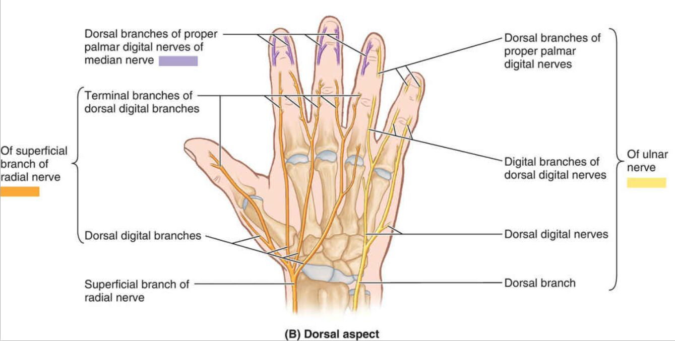 Dorsal Aspect Of Hand Nervous Innervation Diagram