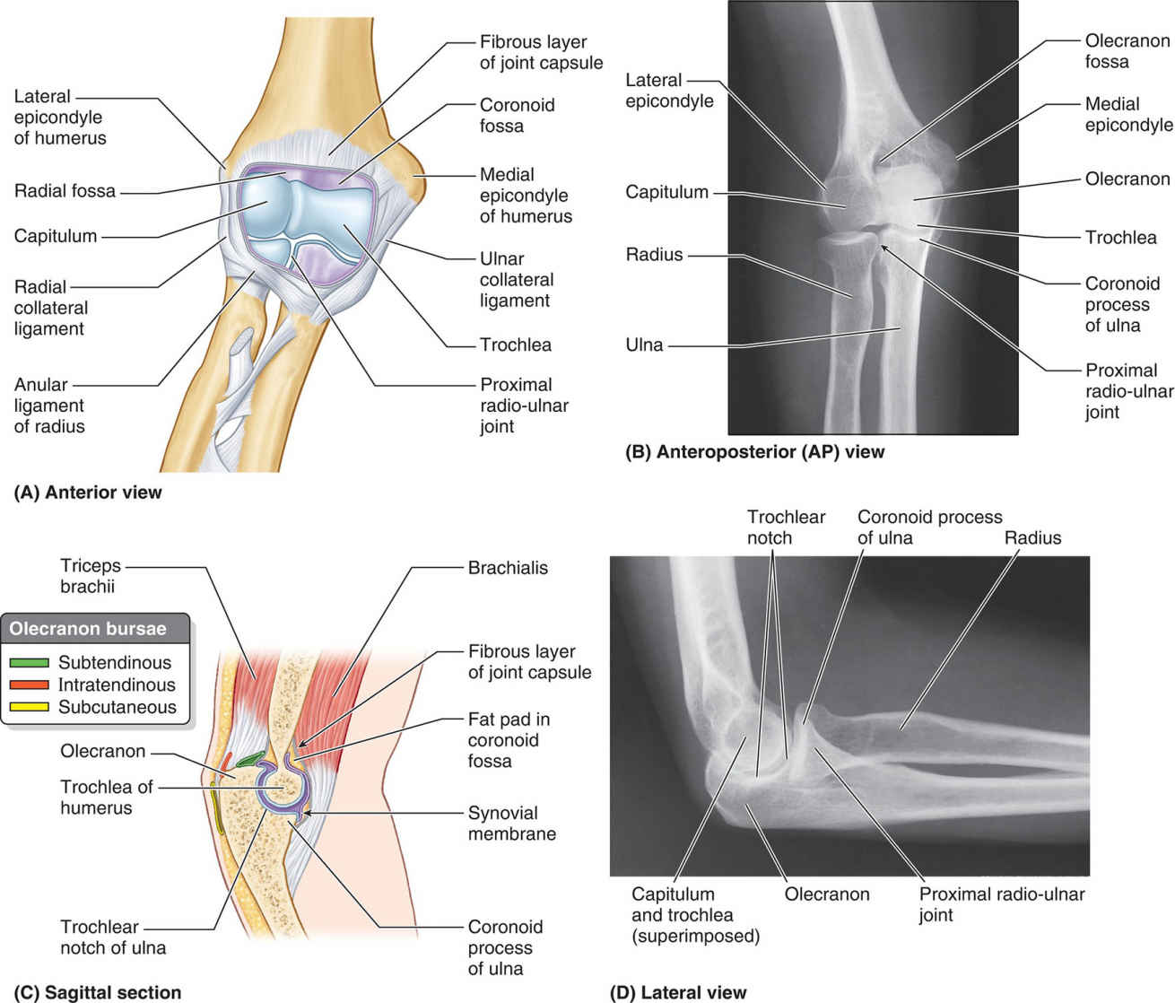 Elbow And Proximal Radio-ulnar Joints