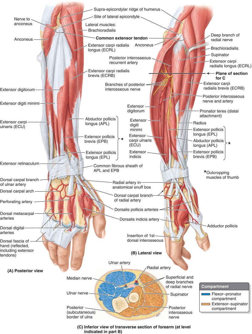 Extensor–supinator Compartment Of Right Forearm